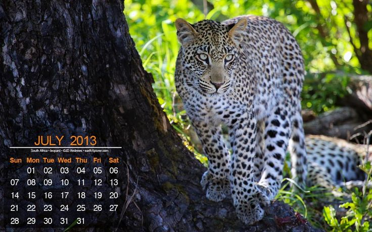 Beautiful Leopard - Desktop Calendar / Wallpaper July 2013 — earthXplorer • adventure travel •