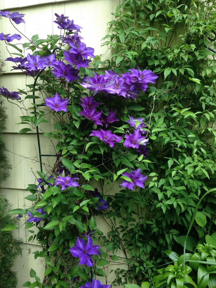 clematis the president pretty against the soft yellow of the cottage cottage through the. Black Bedroom Furniture Sets. Home Design Ideas