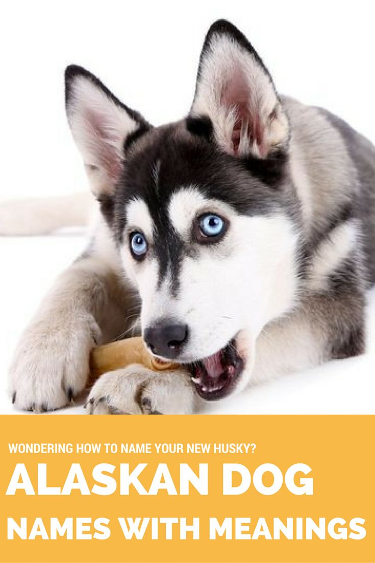 Are you welcoming a husky, malamute, or other northern breed dog into your home? Honor their heritage by choosing one of these striking Alaskan names for your pooch.