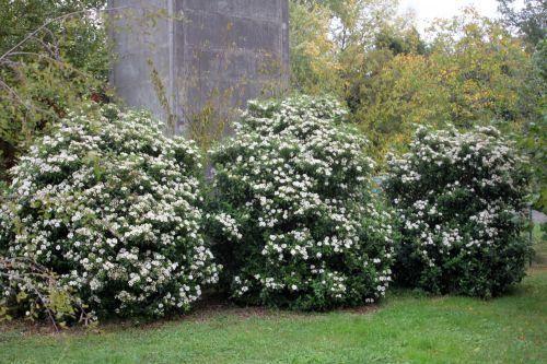 Viburnum tinus (sneeuwbal)| 120 cm | 2x (€ 24,50) | max. hoogte 150 cm