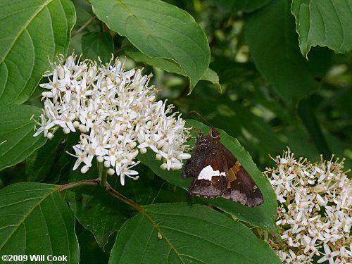 Cornus amomum (Silky/Swamp Dogwood) good for swampy areas or streams.