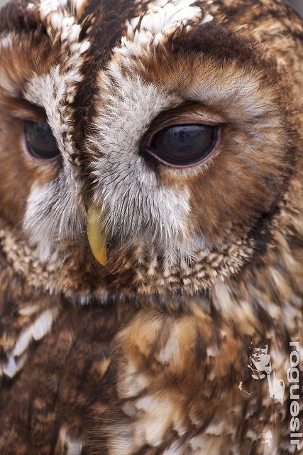 Chouette Hulotte // Tawny Owl by rogueslr -