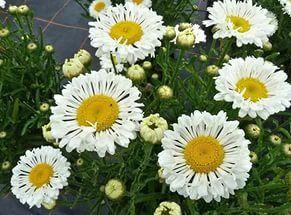 Нивяник (Leucanthemum Real Neat):