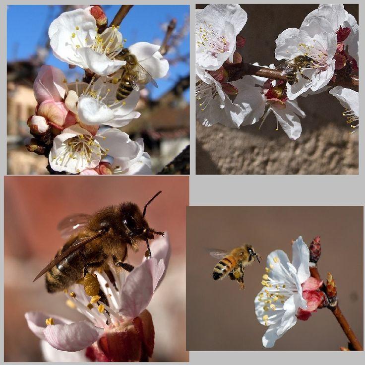 Βυσσινί Μέλισσα: Οι μέλισσες και τα καρποφόρα δέντρα της Ελλάδας..Α' ΜΕΡΟΣ (αμυγδαλιά,βερικοκιά,κερασιά,δαμασκηνιά κ.ά)