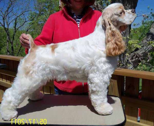Grooming A Field Spaniel Cocker spaniel - short...