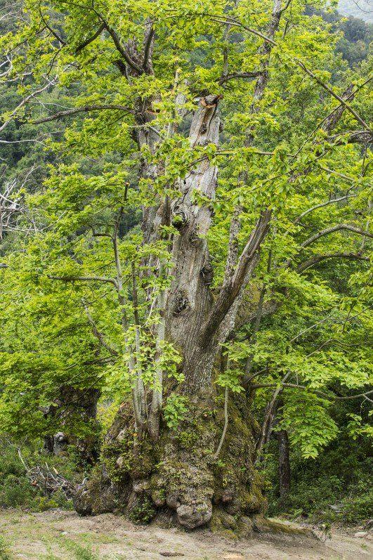 Le châtaignier de Pianello (Corse), élu Arbre de l'année 2014 http://www.pariscotejardin.fr/2014/09/le-chataignier-de-pianello-corse-arbre-de-l-annee-2014/