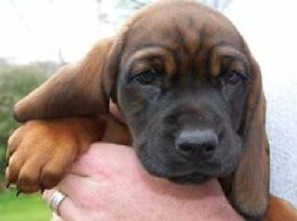 Bavarian Mountain Dog Puppies