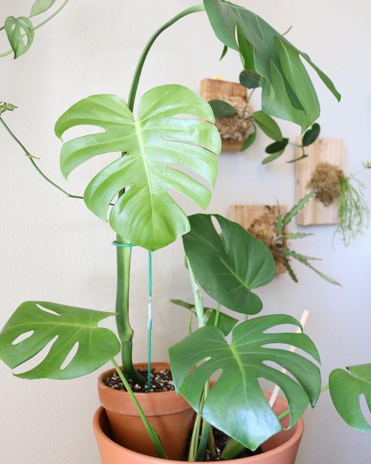 """Erin {Clever Bloom} (@cleverbloom)  """"Monstera stacked on a Monstera with a Monstera photobombHappy #monsteramonday • • • #houseplants…"""""""