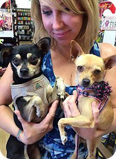 Van Nuys, CA - Chihuahua. Meet Juliette, a dog for adoption. http://www.adoptapet.com/pet/11516032-van-nuys-california-chihuahua