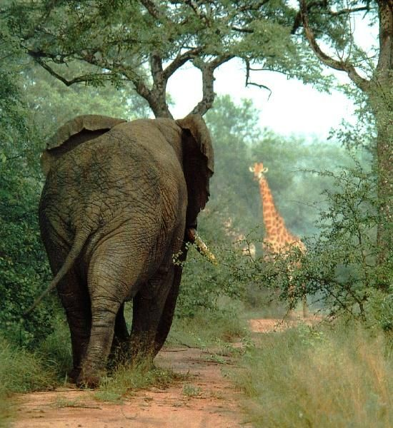 wish I could travel with these beautiful creatures... African Elephant.
