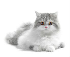 Feline Vomiting : Why is my cat throwing up?