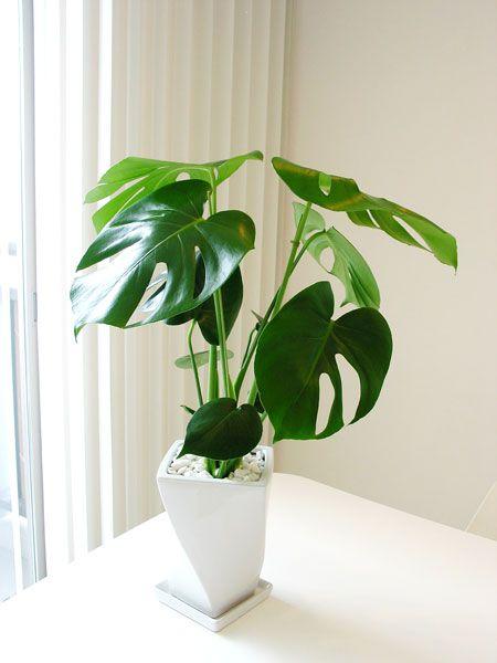 育てやすい観葉植物 モンステラ♩   iemo[イエモ]