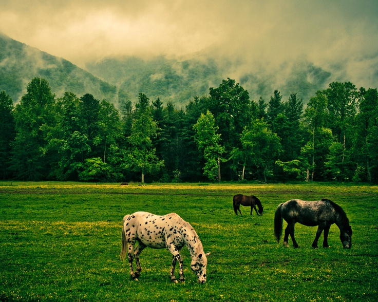 Go #horseback riding in #Cades #Cove in the Great #Smoky #Mountains National Park: Horseback Riding, Great Smoky Mountain, Favorite Places, Riding Hors Smokey Mountain, Mountain National Parks, Cove Horses, Pictures, Le Photos, Horses Graze