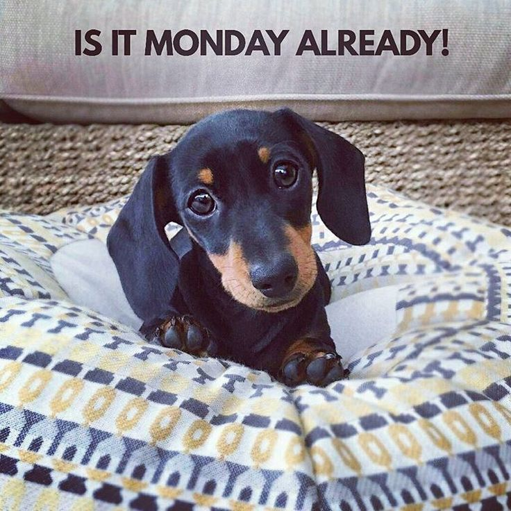 """5 Likes, 2 Comments - Dachshund Quotes & Pictures (@mydachshundfamily) on Instagram: """"Yeah sorry... . @martha_dachshund"""""""