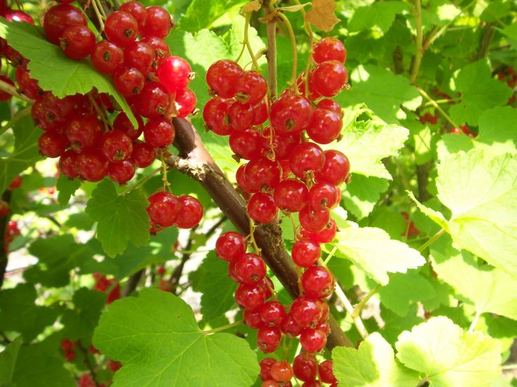 The redcurrant bushes are laden with berries. They'll be on our menu shortly!  Milebrook House Hotel & Restaurant
