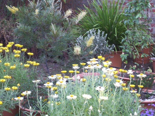 1210 best images about australian native gardens on pinterest