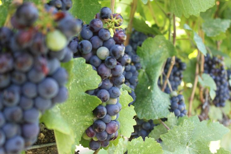 continue reading http://earth66.com/macro/grapes-wine-country/