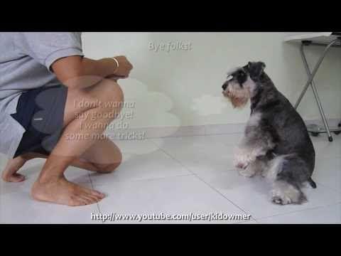 Funny Dog Tricks starring Homer the mini schnauzer
