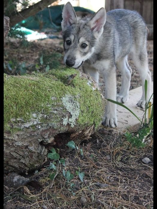 Chien - Czechoslovakian Wolfdog - Ralf on www.yummypets.com Dog, puppy, pooch, pet, animals, pup, cute, woof, Yummypets