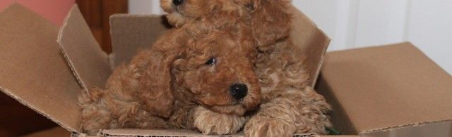 Australian Labradoodles in RED! These tow boys were packing their boxes to move to new families! SO SWEET!