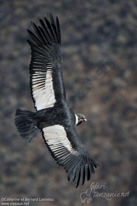 Condor des Andes - Vultur gryphus - Andean Condor   OISEAUX ... f5ed046e780