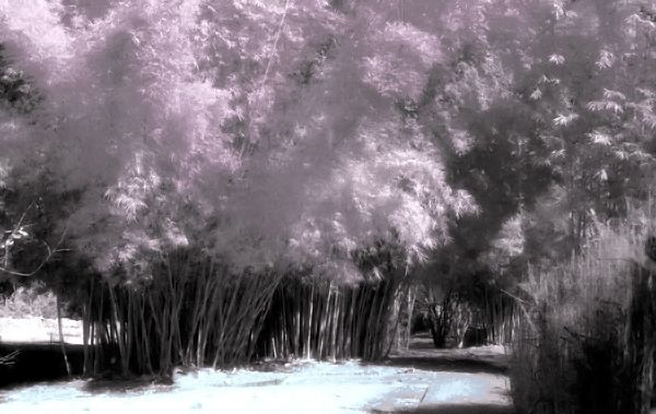 Actual Infrared film used to take this photo of a bamboo forest. I then scanned in the B&W image and added color using photoshop.