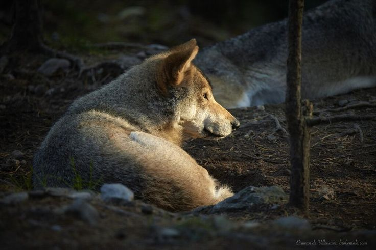 Loup dans le soleil par Erawan - BrokenTale
