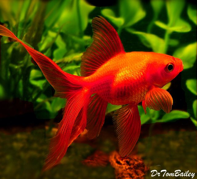 1000+ images about GOTTA LOVE FANTAIL GOLDFISH. on ...