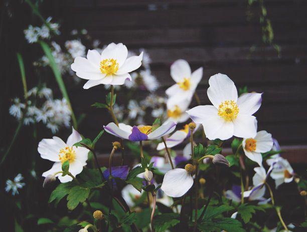 Anemone 'Wild Swan' blommar maj-sept