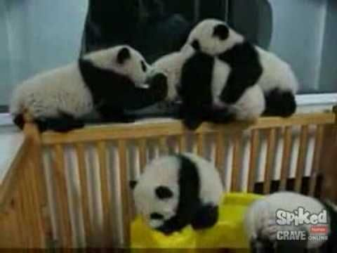this is the cutest thing anyone will ever see. ever. baby pandas playing.