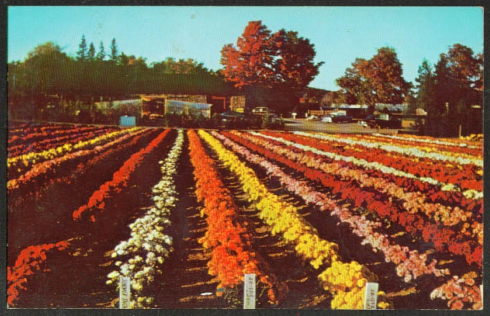 The chrysanthemum fields in Bristol, Connecticut
