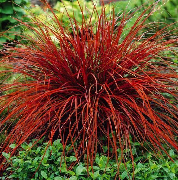 Graminée vivace à feuillage persistant linéaire rouge à brun.
