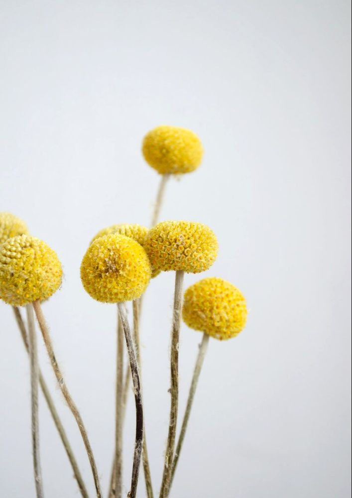 Dried Natural Craspedia Bright Yellow In 2020 Dried Flowers Yellow Accessories Yellow Plants