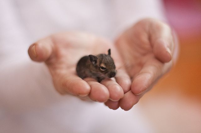 Degus Baby (week old) by ardiri, via Flickr