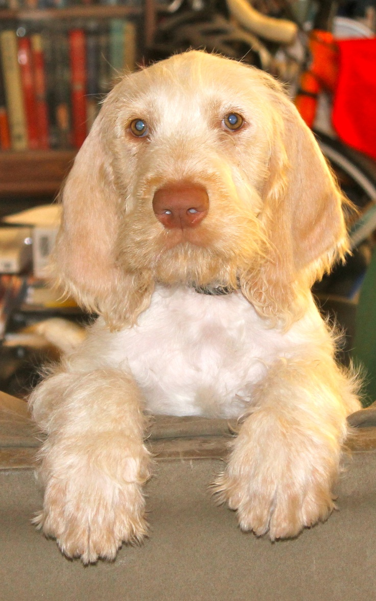 Image of italian spinone brown roan young puppy blue sitting cute - My Little Italian Spinone Puppy Leroy