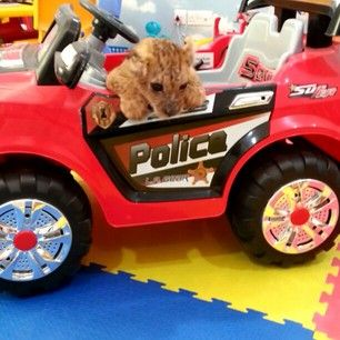 Here is a lion cub in a Power Wheels truck that he tries to climb out of but can't. | The Rich Guys With Lions Of Instagram