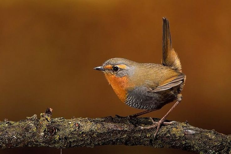 The Chucao Tapaculo (Scelorchilus rubecula) is found in Argentina and Chile. Its natural habitat is temperate forests.