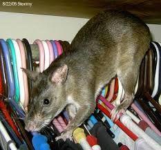 Resultado de imagen para ratas mascotas