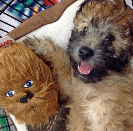 Murphy the Soft Coated Wheaten Terrier Pictures 1033226