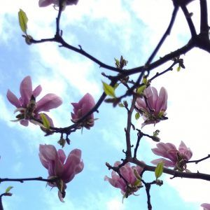 Joy in my mind #21 | Magnolia in bloei