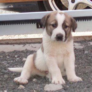 Cão Mastim Espanhol