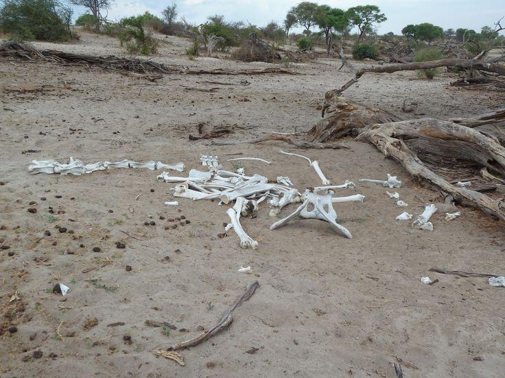Not all animals have it so lucky! This poor giraffe did not have a good day as you can see. Botswana101.com #OkanvangoDelta #CampLerooLaTau #Botswana #GiraffeThatDidNotMakeIt #SafariOkavangoDelta #GameDriveOkanvangoDelta