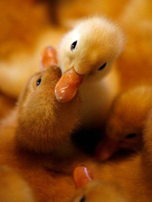 Sweet Little Baby Ducks