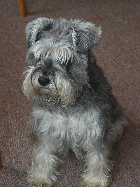 Sweet Schnauzer and this one looks like our Cadee Lee with her hair all down in her eyes!!