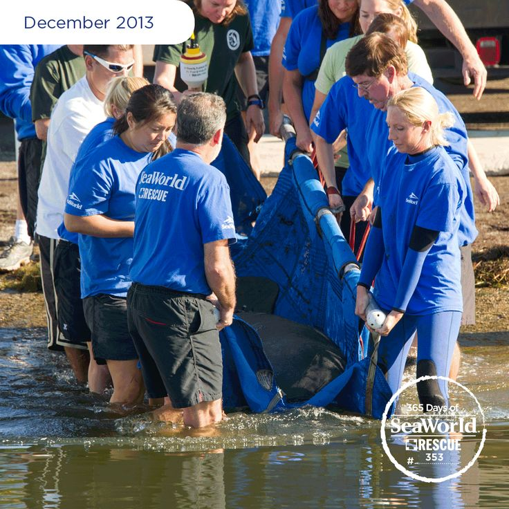 This young female manatee spent several months at SeaWorld recovering from watercraft injuries. After her wounds healed during rehabilitation, she was returned to the wild. #365DaysOfRescue
