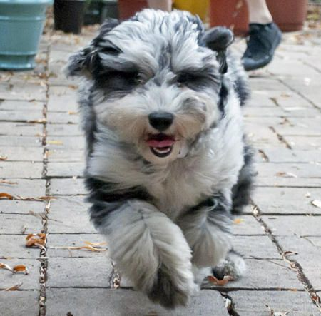 Aussiedoodle - The Aussiedoodle is a cross between an Australian Shepherd and a Poodle, usually a Standard or Miniature Poodle. Both of the breeds used to create Aussiedoodles are considered to be canine Einsteins, making this one super smart cross-breed.