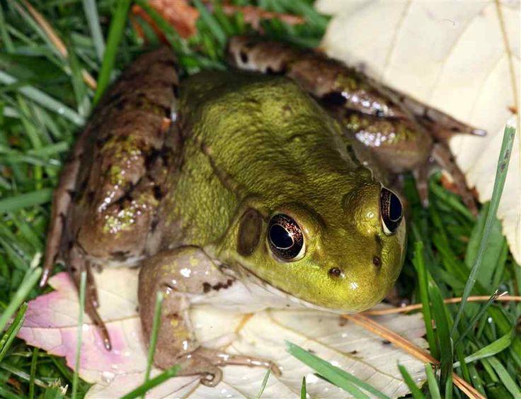 Grön groda närbild