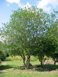 25 b sta id erna om mirabellenbaum p pinterest heidelbeeren pflanzen beerenstr ucher och. Black Bedroom Furniture Sets. Home Design Ideas