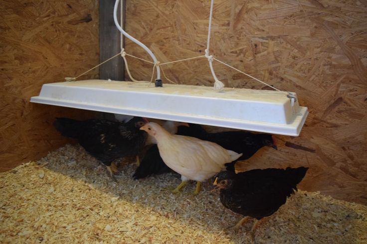 Not just for the chicks, the Sweeter Heater is also used for many coops in the cold of winter. Chickens don't have to work so hard to keep warm - keeping egg production up!