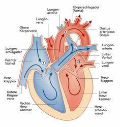 Das Herz: Aufbau, Funktion und Erkrankungen   Apotheken Umschau